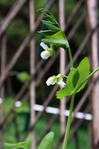 From our garden a beautiful snap pea begins to bloom.