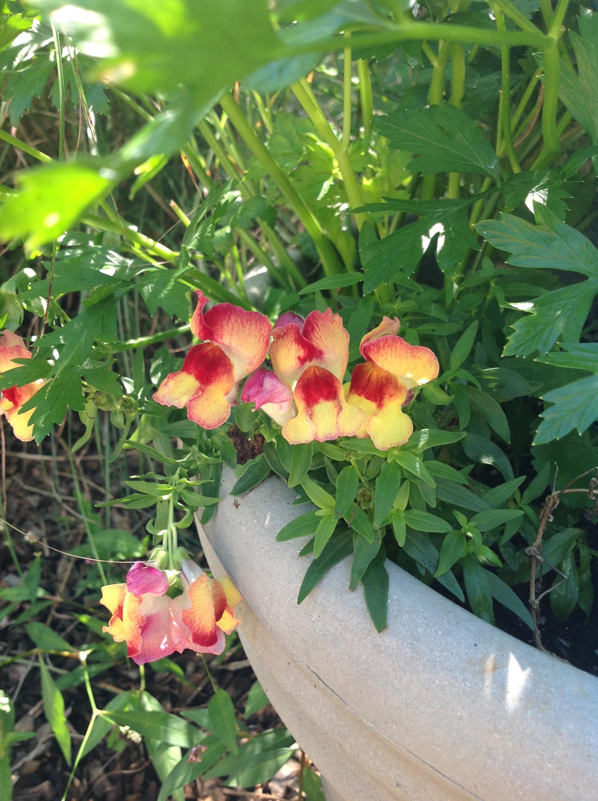 Homegrown Harvest Photo Share – Week 3- Snapdragons