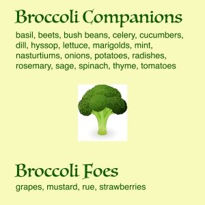 Broccoli Companions and Foes - text describes what works well in the garden with broccoli and what does not.